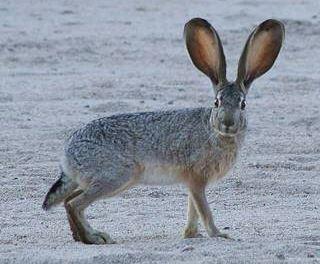 a Jack Rabbit or American desert hare